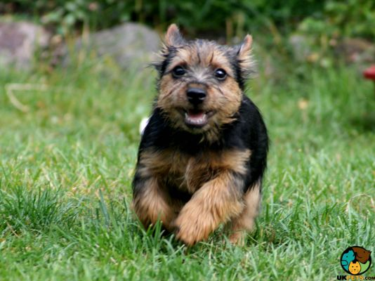 Norwich Terrier in the UK