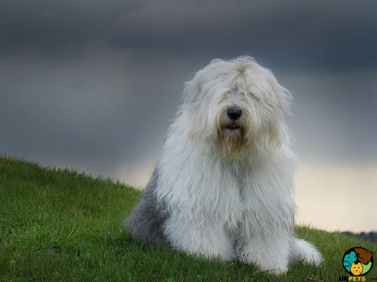 Old English Sheepdog in the UK