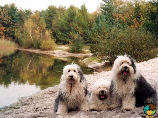 Old English Sheepdogs in the UK