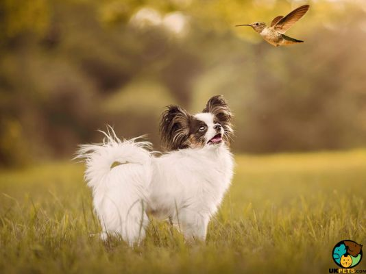 Papillons in Great Britain