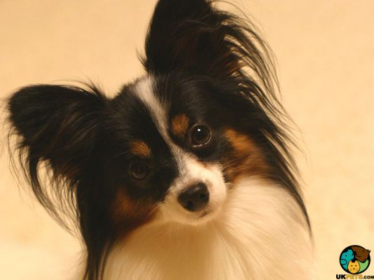 Papillon in the UK