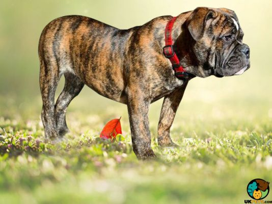 Dorset Olde Tyme Bulldogge in Great Britain