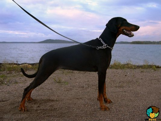Doberman Pinscher Dogs