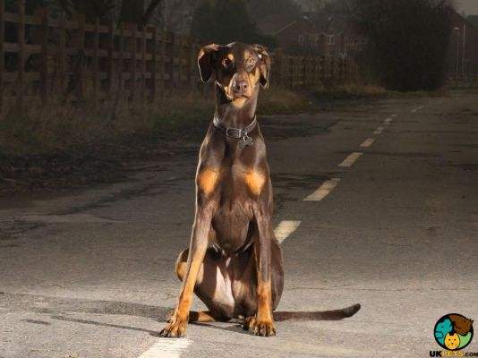 Doberman Pinscher in the UK