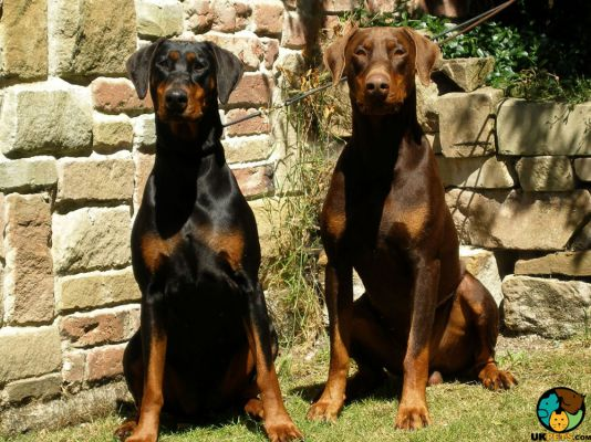 Doberman Pinscher in Great Britain