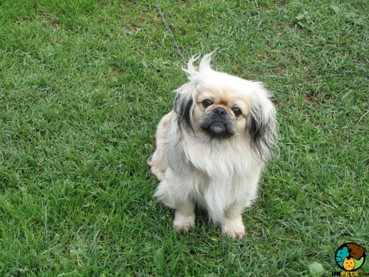 Pekingese Dog Breed Information | UK Pets