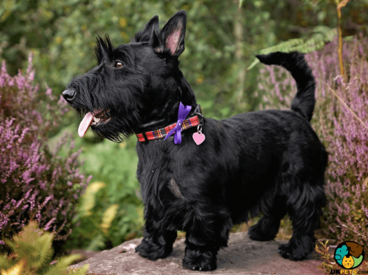 Scottish Terrier in Great Britain