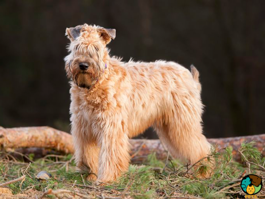 Soft Coated Wheaten Terrier in Great Britain
