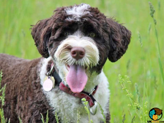 Portuguese Water Dogs in Great Britain