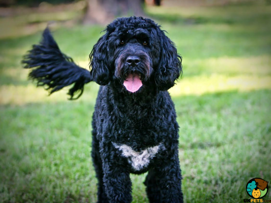 Portuguese Water Dog Dog Breed Information Uk Pets