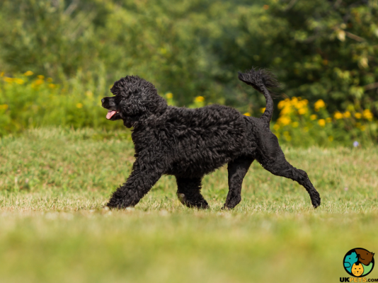 Portuguese Water Dog in the UK