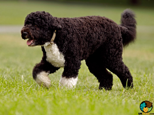 Portuguese Water Dogs in the UK