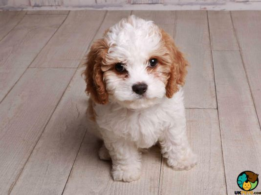 Cavachon in the UK