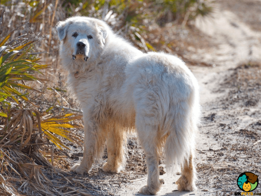 Pyrenean Mountain Dog in Great Britain