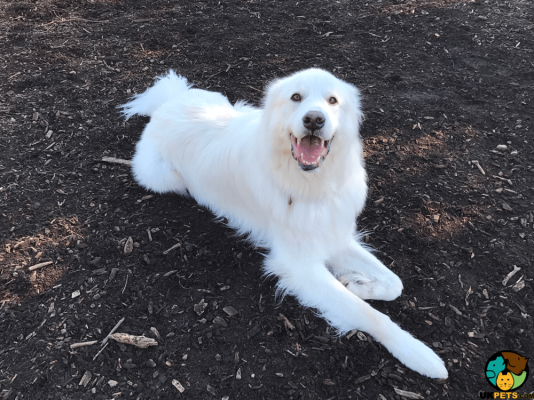 Pyrenean Mountain Dog in the UK