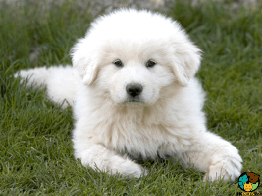 Pyrenean Mountain Dogs in the UK