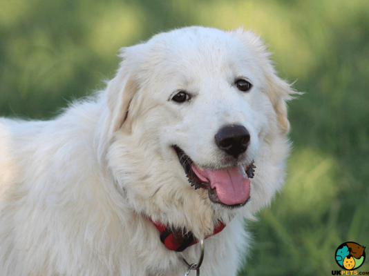 Pyrenean Mountain Dogs in Great Britain