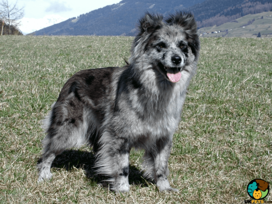 Pyrenean Sheepdog in the UK