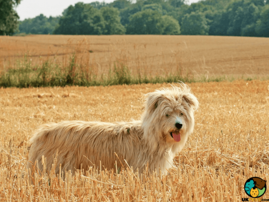Pyrenean Sheepdog Dog
