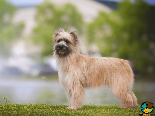 Pyrenean Sheepdog in Great Britain