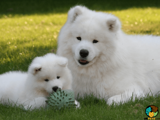 Samoyeds in Great Britain