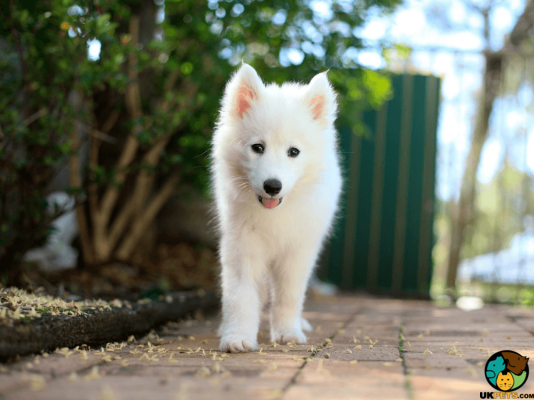 Samoyed in the UK