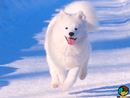 Samoyed Dog Breed Information | UK Pets