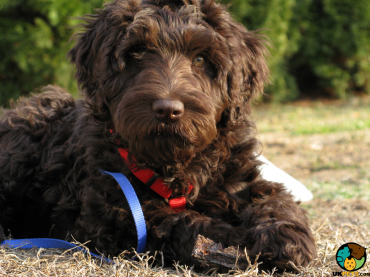 Labradoodle in Great Britain