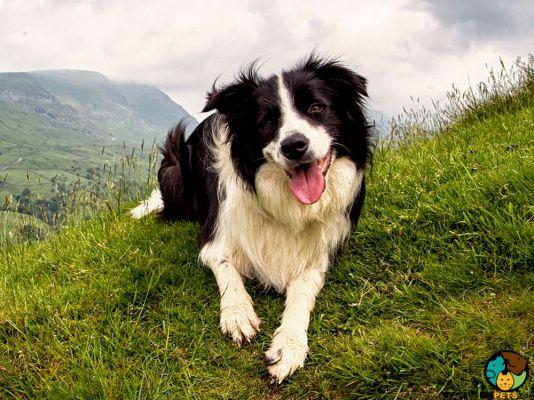 Border Collie in Great Britain