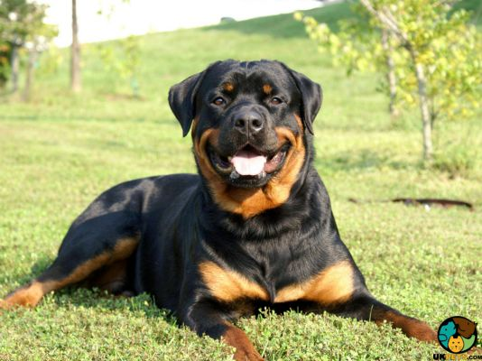 Rottweilers in Great Britain