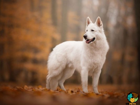 White Swiss Shepherd Dogs