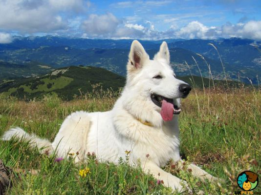 White Swiss Shepherds in Great Britain