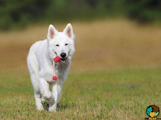 White Swiss Shepherd in the UK
