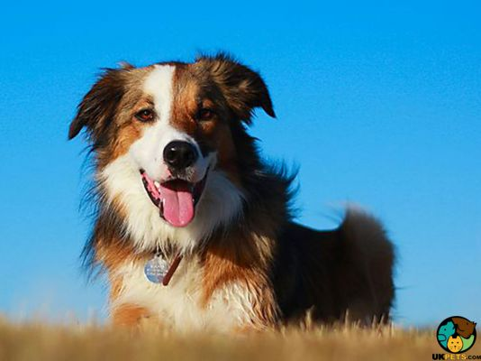 Welsh Collies in Great Britain