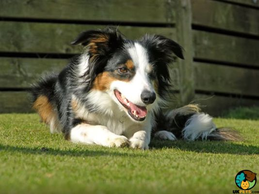 Welsh Collie Dog Breed Information Uk Pets