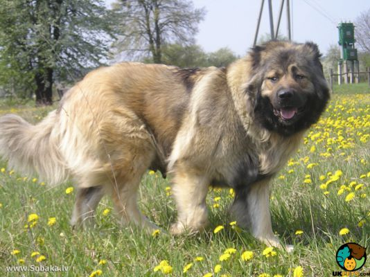 Caucasian Shepherd Dog in Great Britain