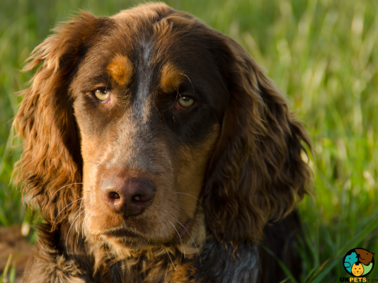 Picardy Spaniels in the UK