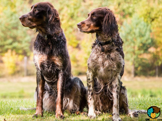 Picardy Spaniels in Great Britain
