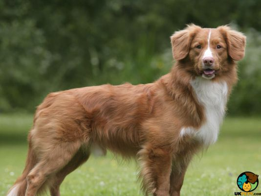 Nova Scotia Duck Tolling Retriever in Great Britain