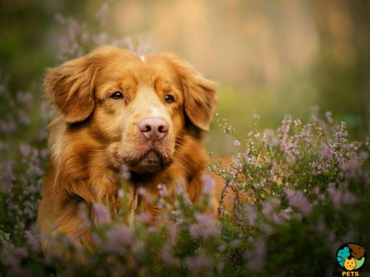 Nova Scotia Duck Tolling Retriever in the UK