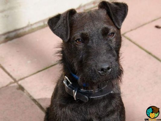 Patterdale Terrier Dog Breed Information Uk Pets