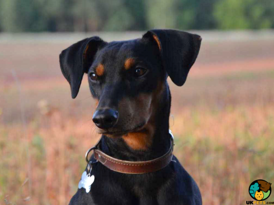Pinscher Dog