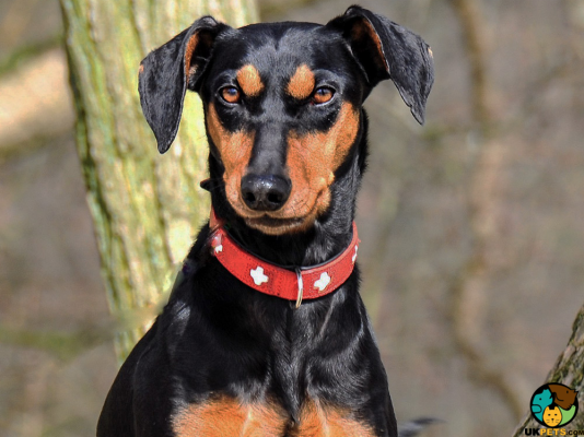 Pinscher in Great Britain