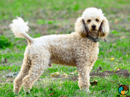 Poodle in the UK