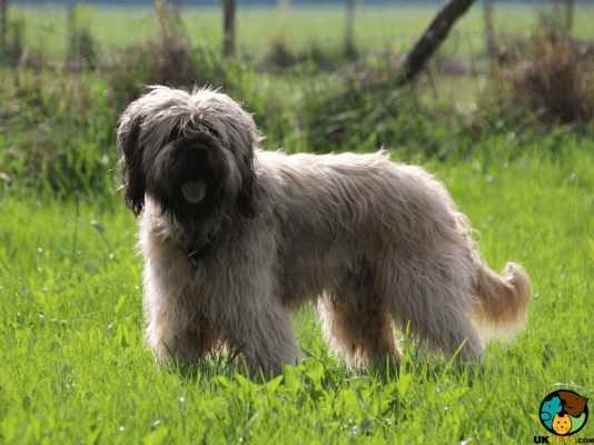 Portuguese Sheepdogs in the UK