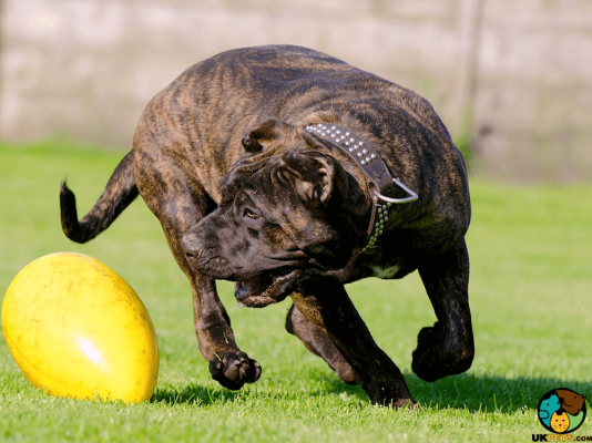 Presa Canario in the UK