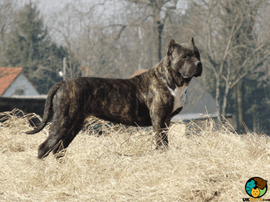 Presa Canario in Great Britain