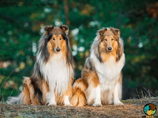 Rough Collie in the UK