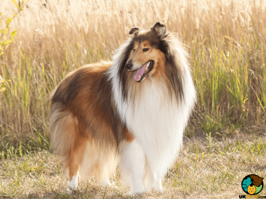 Rough Collies in Great Britain