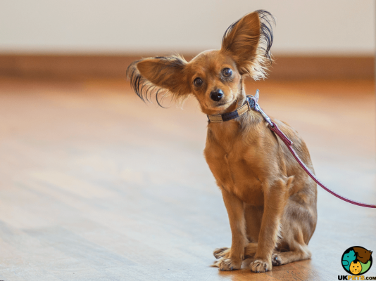 Russian Toy Terrier in the UK